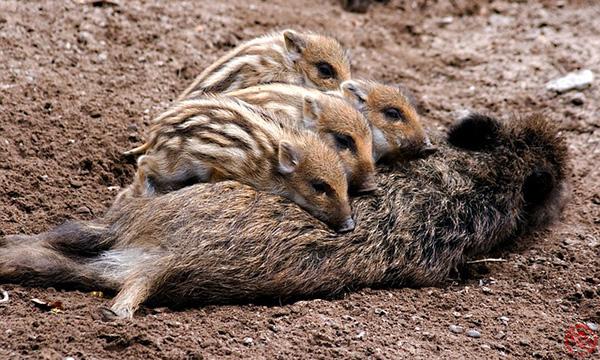 Wildschwein-Frischlinge
